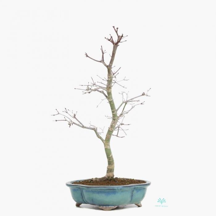 Acer palmatum Deshojo - acero - 55 cm
