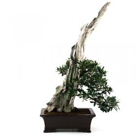 Olea europaea - Olivo - 46 cm
