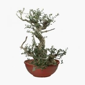 Olea europaea sylvestris yamadori - 73 cm