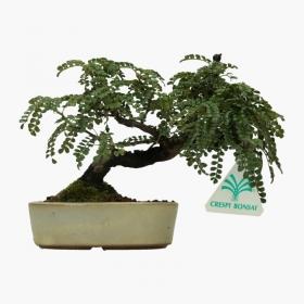 Osteomeles anthyllidifolia - 14 cm