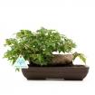 Acer buergerianum - acero - 16 cm