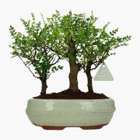 Pepper tree - Albero del pepe - 25 cm