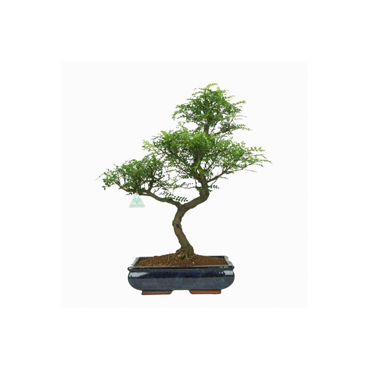 Pepper tree albero del pepe 57 cm for Bonsai pepe