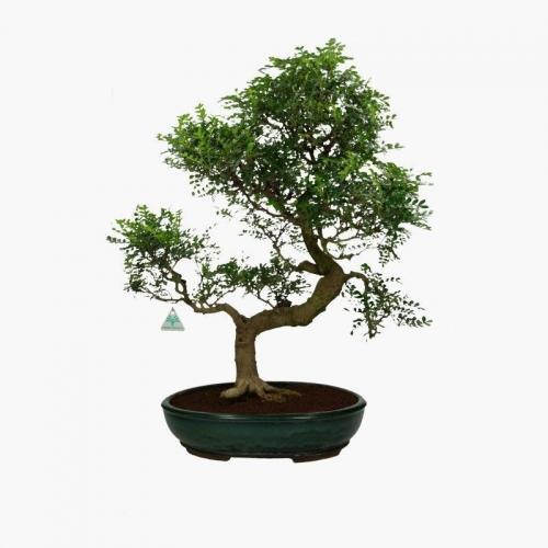 Zanthoxylum albero del pepe 65 cm for Bonsai pepe