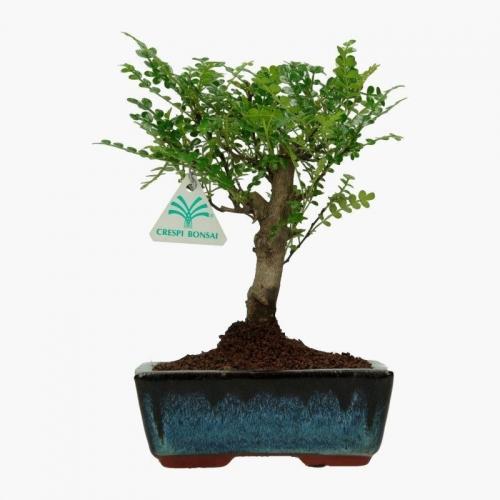 Pepper tree albero del pepe 26 cm for Bonsai pepe