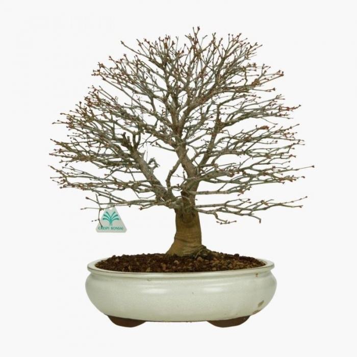 Acer palmatum kashima - acero - 42 cm