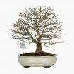 Acer palmatum Kashima - maple - 42 cm