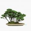 Picea abies - Épicéa - 45 cm