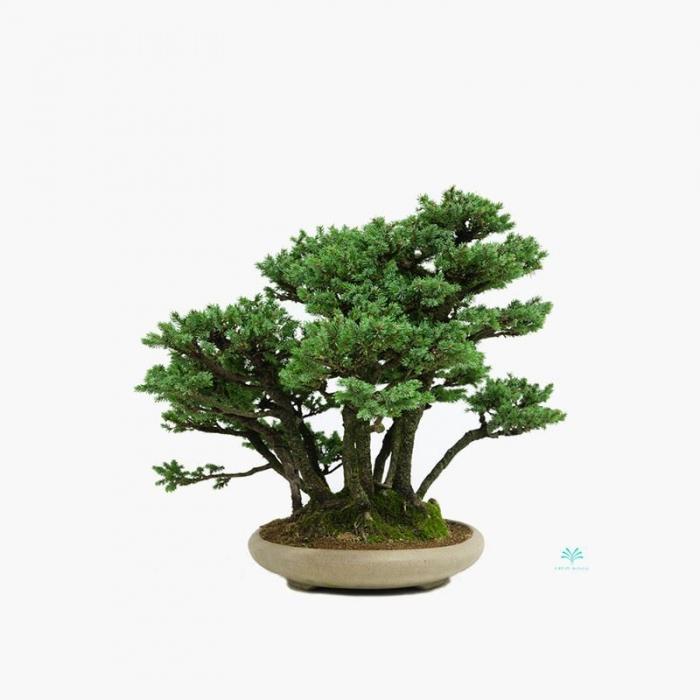 Picea abies - 43 cm
