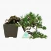 Pinus pentaphylla  - Pino - 14 cm