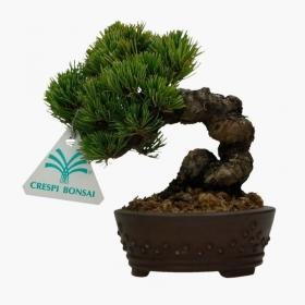 Pinus pentaphylla  - Pino - 15 cm