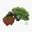 Pinus pentaphylla - Pine five needles - 21 cm