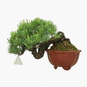 Pinus pentaphylla  - Pino - 21 cm