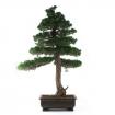 Pinus pentaphylla - Pino - 103 cm