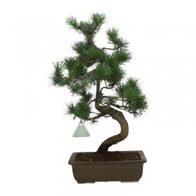 Pinus pentaphylla - Pino - 41 cm