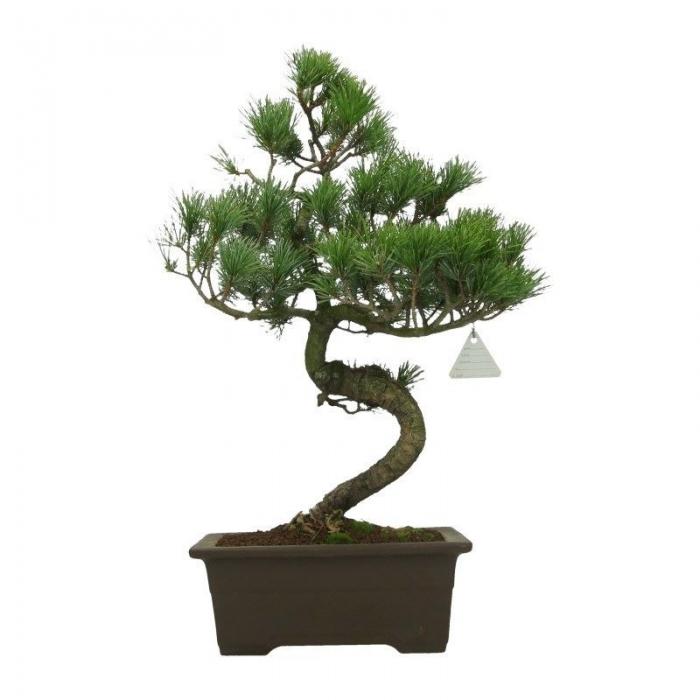 Pinus pentaphylla - Pino - 51 cm