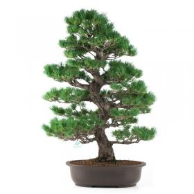 Pinus pentaphylla - Pino - 77 cm