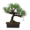 Pinus thunbergii - 39 cm