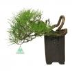 Pinus thunbergii - Pino nero - 27 cm