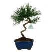 Pinus thunbergii - Pino nero - 35 cm