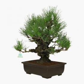 Pinus thunbergii - Pino nero - 51 cm