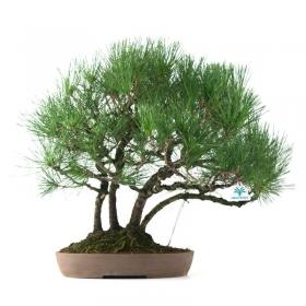 Pinus thunbergii - Pino nero - 60 cm