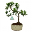 Podocarpus macrophylla - 27 cm