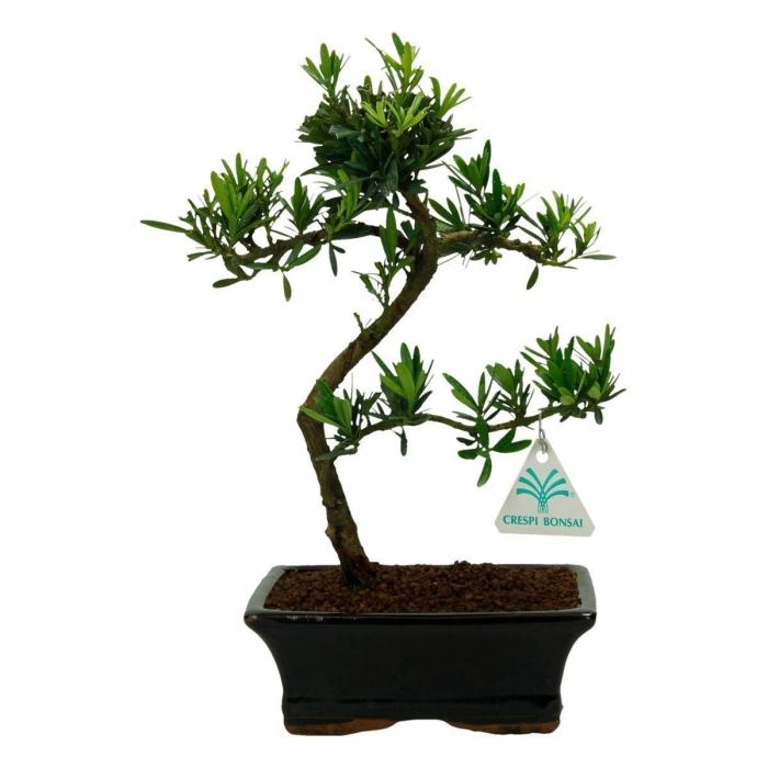 Podocarpus macrophylla - 30 cm