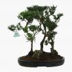 Podocarpus macrophylla - 39 cm