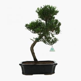Podocarpus macrophylla - 54 cm