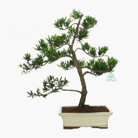 Podocarpus macrophylla - 55 cm