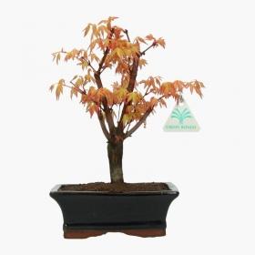 Acer palmatum Katsura - acero - 27 cm
