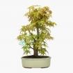 Acer palmatum Katsura - érable - 36 cm