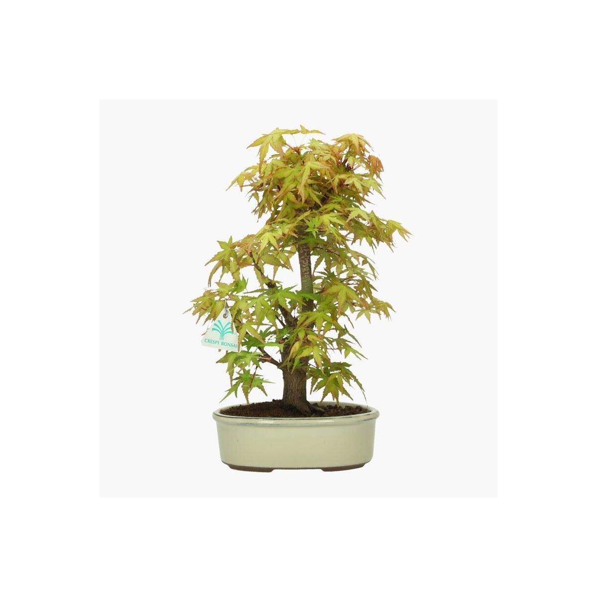 Acer Palmatum Katsura Maple 36 Cm
