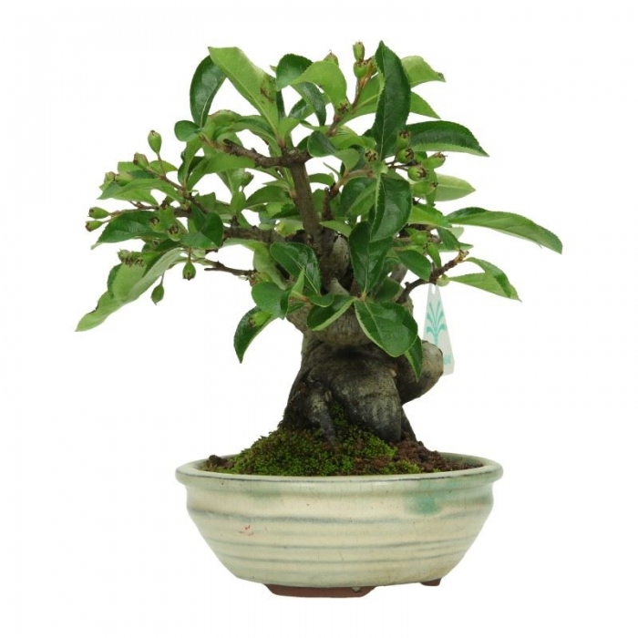 Pourthiaea villosa - 19 cm
