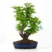 Pourthiaea villosa - 28 cm