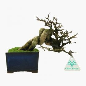 Premna japonica - 16 cm