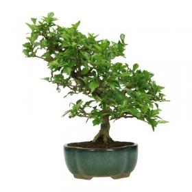 Premna japonica - 26 cm