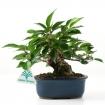Prunus - Ciliegio - 15 cm