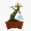 Acer palmatum Kotohime - maple - 19 cm
