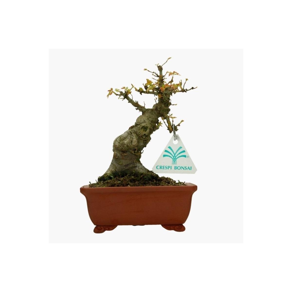 Acero Blu Giapponese acer palmatum kotohime - maple - 19 cm