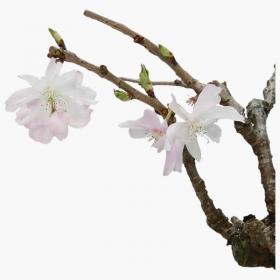 Prunus - Ciliegio - 20 cm
