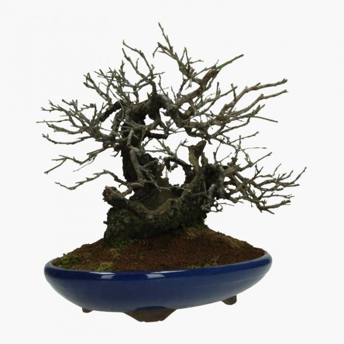 Prunus mume - 28 cm