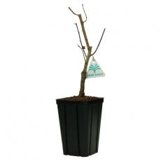 Prunus mume - 33 cm