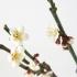 Prunus mume - 37 cm