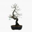 Prunus mume - 55 cm
