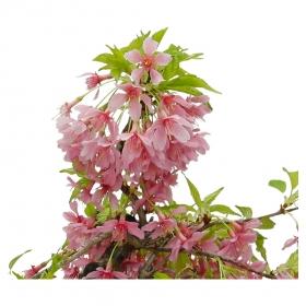 Prunus subhirtella - Ciliegio - 38 cm