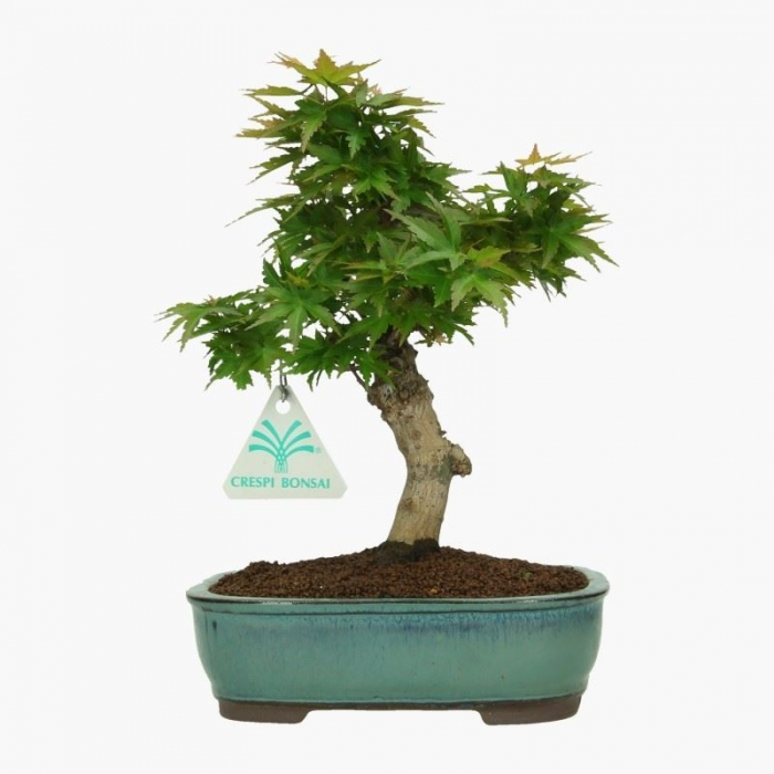 Acer palmatum kotohime -  acero - 24 cm