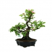 Pseudocydonia chinensis karin - Quince - 48 cm
