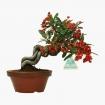 Pyracantha angustifolia - 22 cm